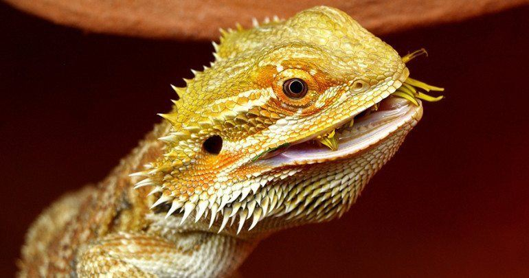 Bearded Dragon Frequently Asked Questions