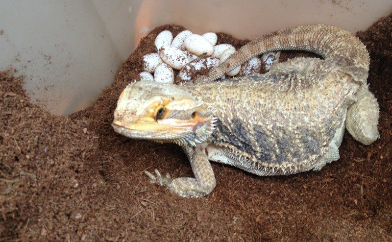 Bearded Dragon Laying Eggs