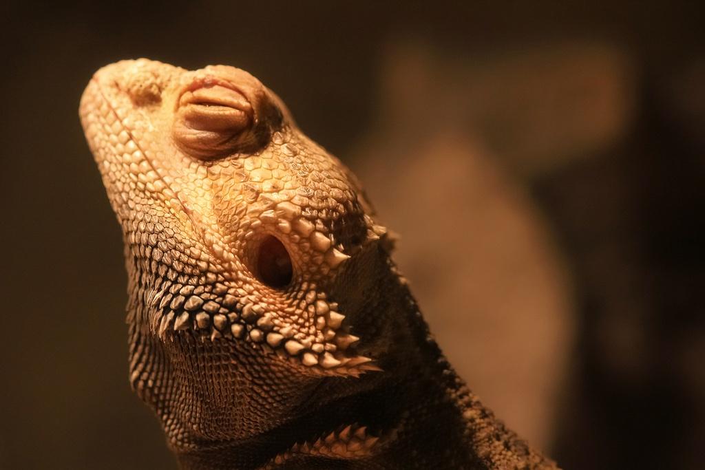 Bearded Dragons Make Good Pets