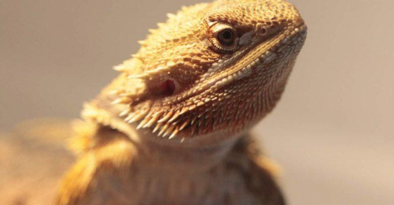Bearded dragon impaction