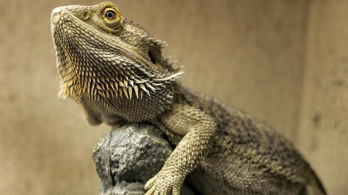 Best Habitat for Bearded Dragons
