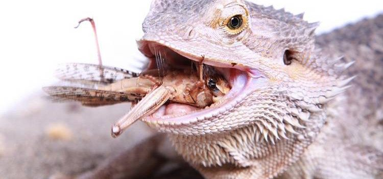 Best Live Food to Feed Bearded Dragons