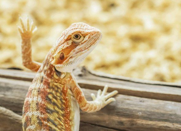 Best Thermometers & Hygrometers for Bearded Dragons
