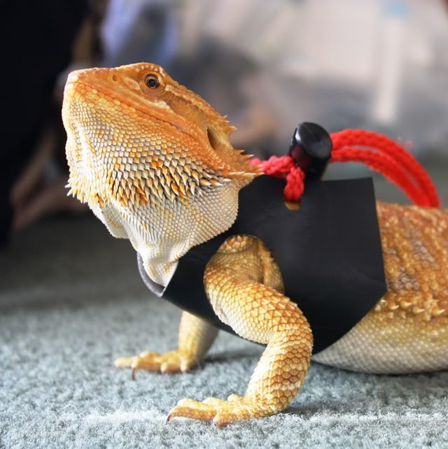Best Toys and Activities For a Bearded Dragon