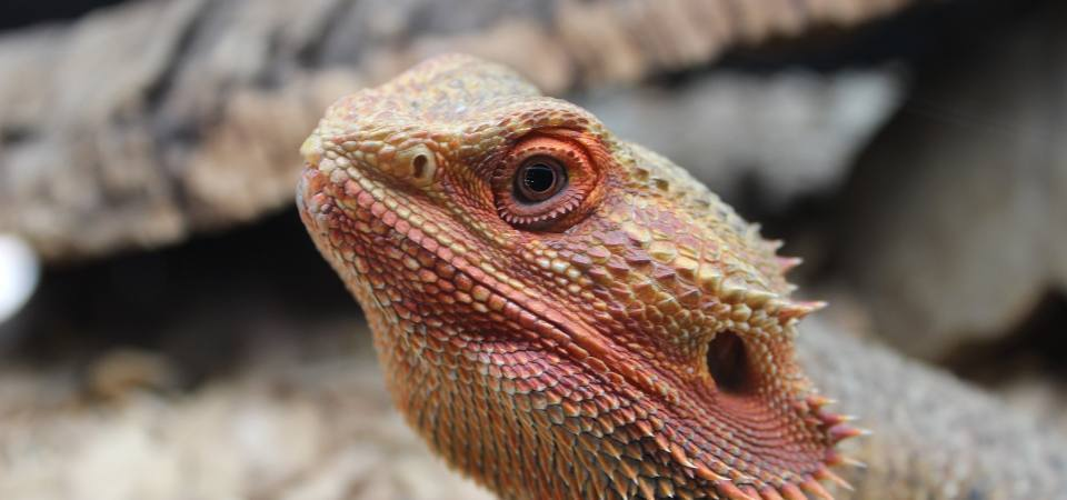 Best Vitamins for Bearded Dragons