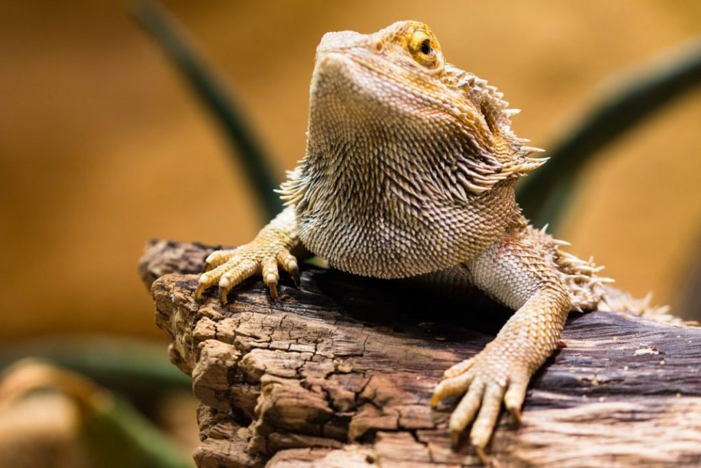 How Long Can a Bearded Dragon Go Without Food