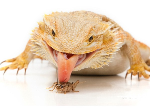 How Many Crickets to Feed a Bearded Dragon