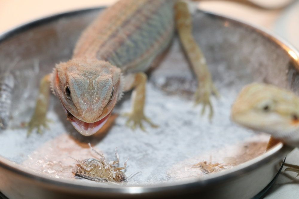How Much Dusted Calcium Do Bearded Dragons Need