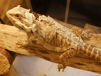 How To Help a Shedding Bearded Dragon