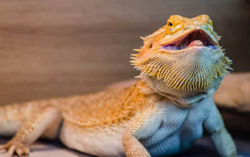 How to Calm Down and Destress a Bearded Dragon