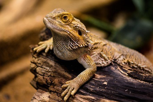 How to Keep a Bearded Dragon Cage from Smelling