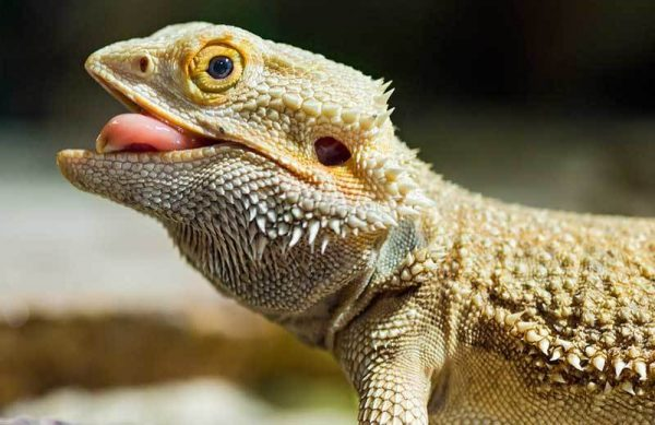How to Transport and Travel with a Bearded Dragon