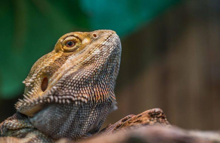 Metabolic Bone Disease in Bearded Dragons