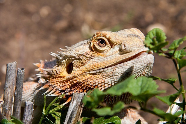 Safe Plants for Bearded Dragons