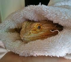 Tucked In Bearded Dragon