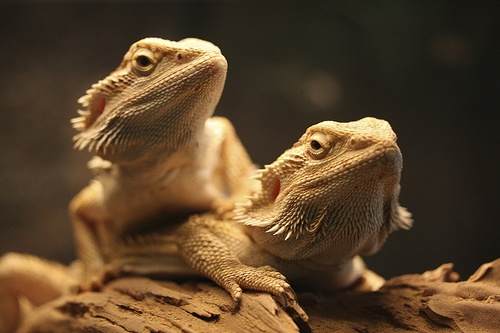 Two bearded dragons sharing the same tank