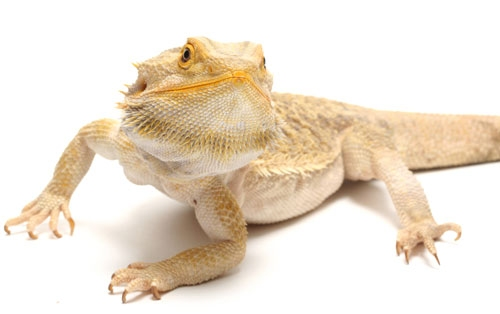 Why Do Bearded Dragons Puff Up