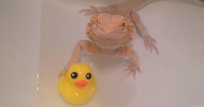 bearded dragon getting a bath