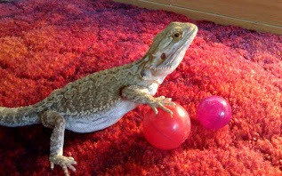 bearded dragon playing with a ball
