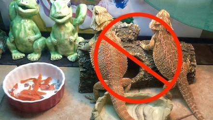 bearded dragons in tank together