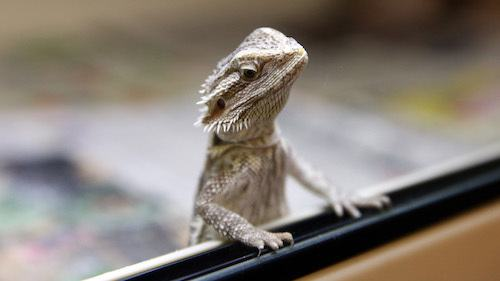 best bearded dragon cages