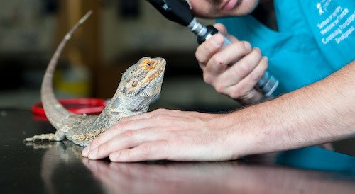 How Much Does Bearded Dragon Health Insurance Cost
