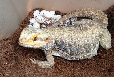 How many eggs do bearded dragons lay