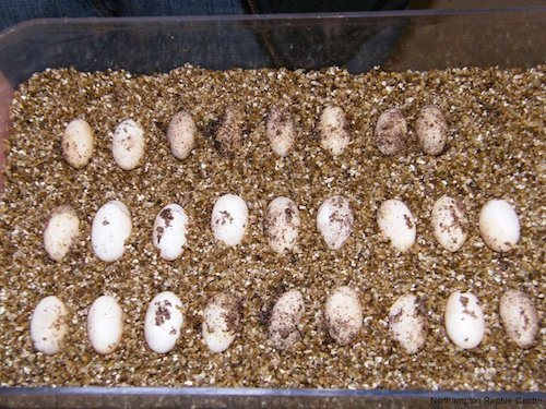 How to Breed Bearded Dragons