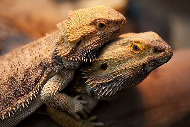 how to breed bearded dragons 4