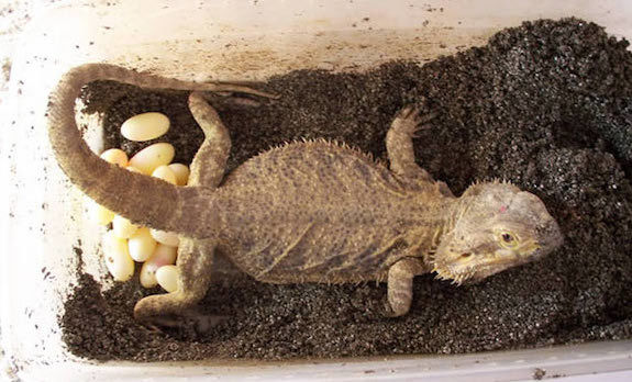How to breed your bearded dragon 3
