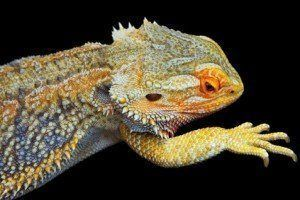How to tell if your bearded dragon is sick 4