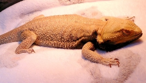 How to tell if your bearded dragon is sick