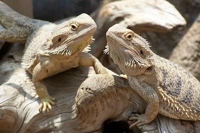 bearded dragon names