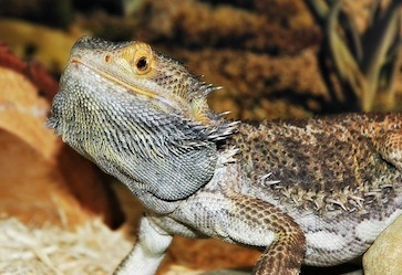 best UVB bubls for bearded dragons