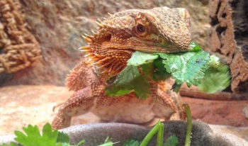 Bearded Dragons Are Omnivores And Eat A Variety Of Food Including Mustard Greens Turnip Dandelion Collard Romaine Lettuce