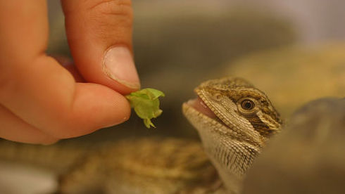 Hand feeding a bearded dragon