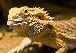 How to get a bearded dragon to eat