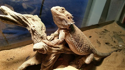 A Mature Bearded Dragon