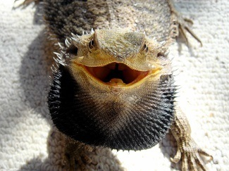 Aggravated Bearded Dragon