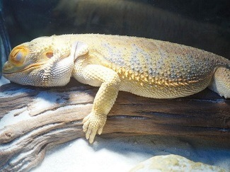 Bearded Dragon Brumation or Dead