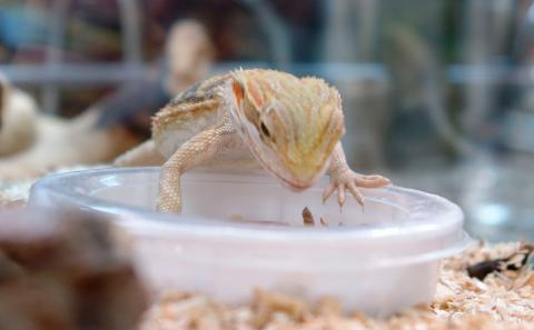 Bearded Dragon Eating Insects