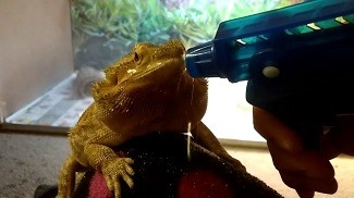 Bearded Dragon Getting Sprayed with Water