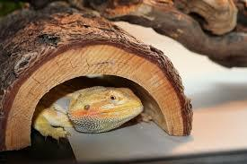 Bearded Dragon Hiding Out