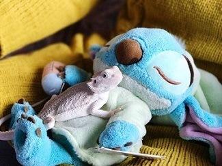 Bearded Dragon Laying on Stuffed Animal