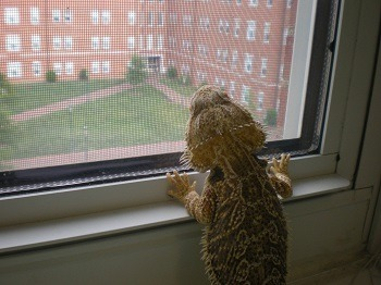 Bearded Dragon Looking Out Window