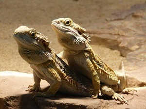 Bearded Dragon Mating Behavior