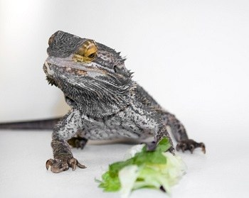 Bearded Dragon Refusing to Eat Vegetables