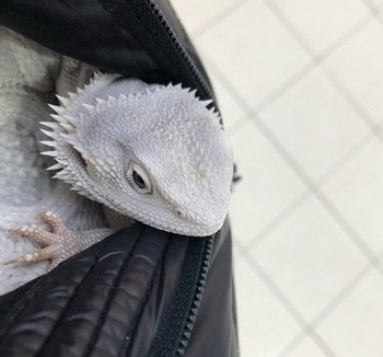 Bearded Dragon Tucked Into Jacket