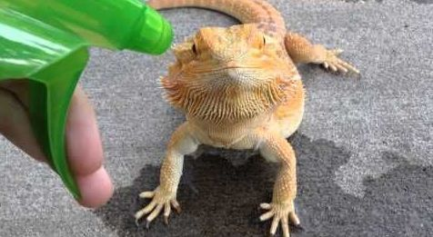 Bearded Dragon and Spray Bottle