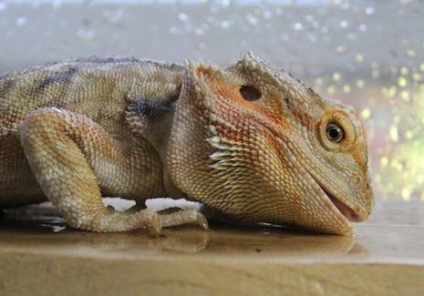 Bearded Dragon drinking water